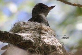 Nesting Wood-Pewee