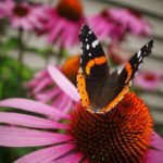 Attract Birds and Butterflies With Coneflowers