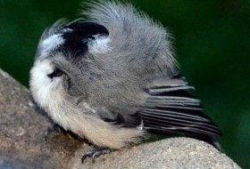 Friday Fun Photo: Sleeping Chickadee