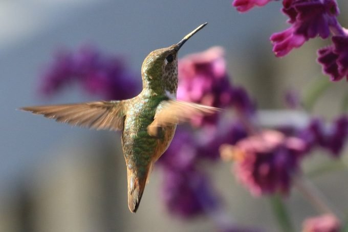 hummingbird and mexican sage
