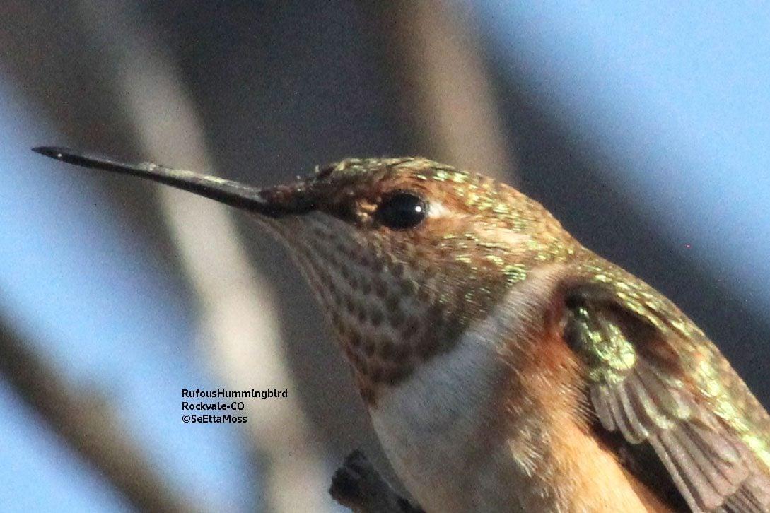 Migración de Hummingbird