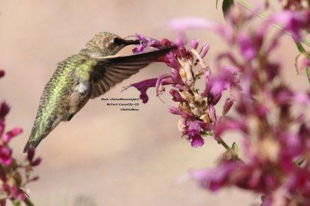 Agastache cana with hummingbird