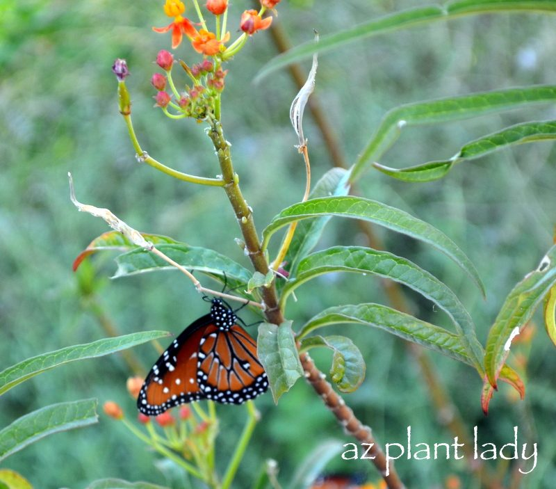 As I Walked Through The Beautiful Gardens, I Noticed Countless Butterflies  Flocking To The Different Species Of Milkweed Growing In The Gardens.