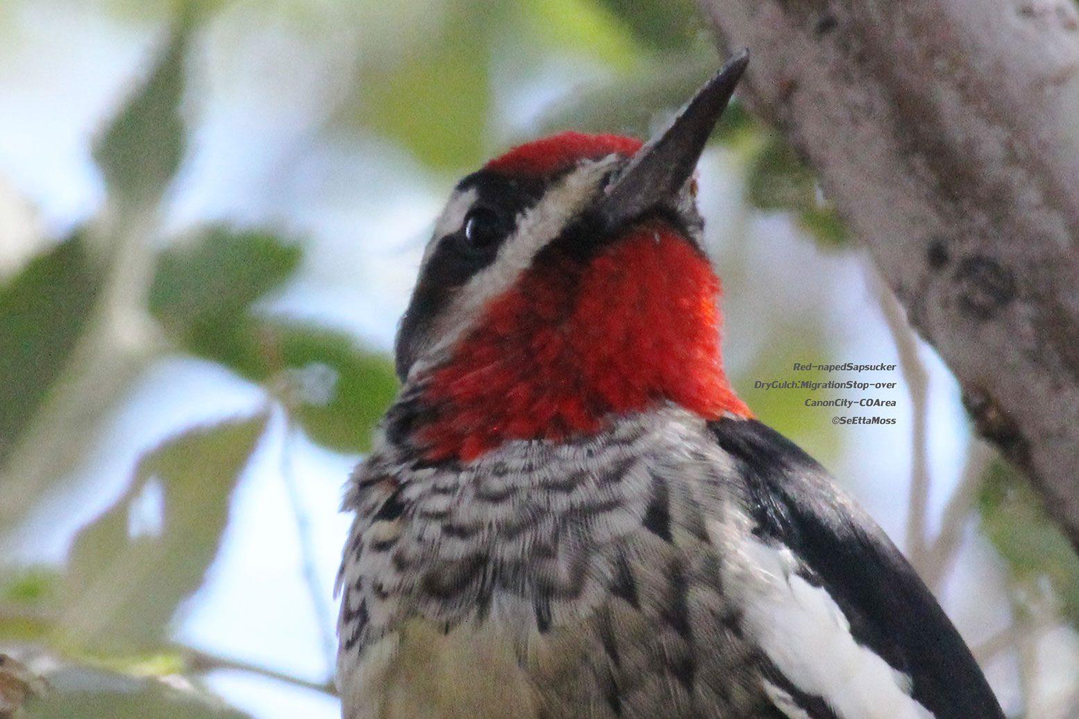 Black White Bird Red Throat 94
