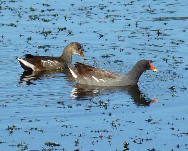 Gallinule común - Whatbird.com