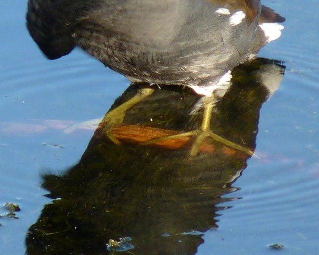 Common Gallinule Feet