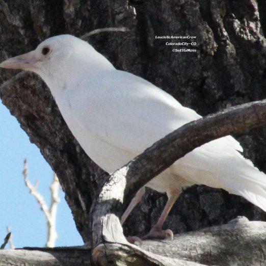 Is This White Bird an Albino Crow?