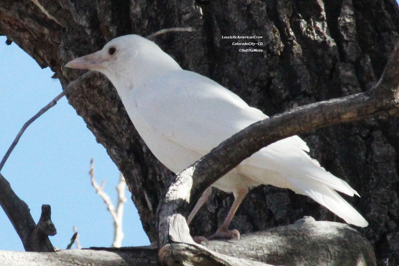 the white crow - photo #5