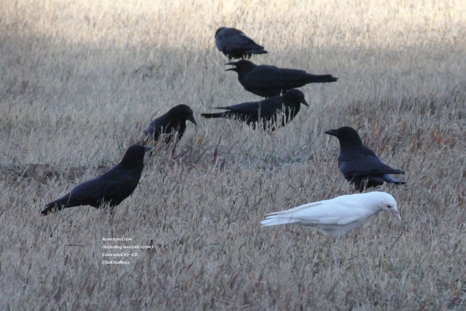 Albino Bird A White Crow Birds And Blooms