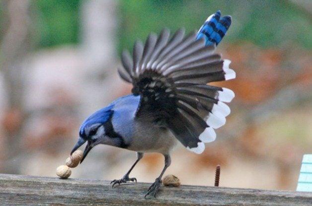 Friday Fun Photo: Blue Jay & Peanuts