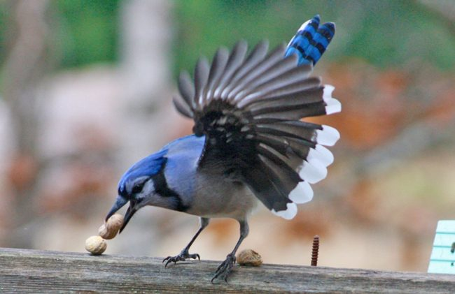 Friday Fun Photo: Blue Jay & Peanuts