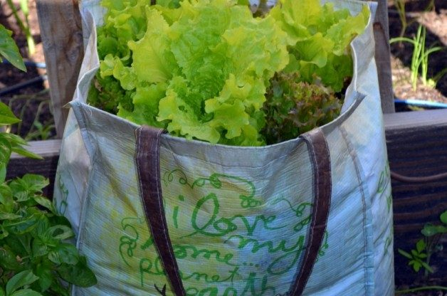 lettuce-growing-grocery-bag