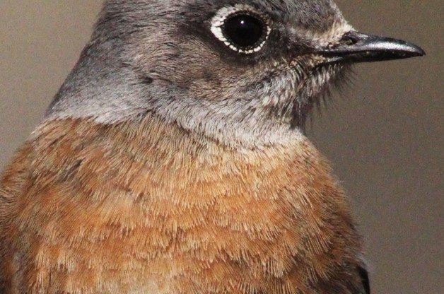 WBluebird-a3-CO