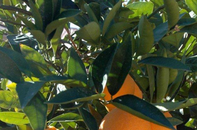 ripening-oranges