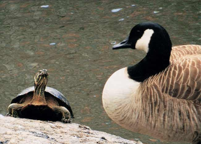 Turtle and Canada Goose
