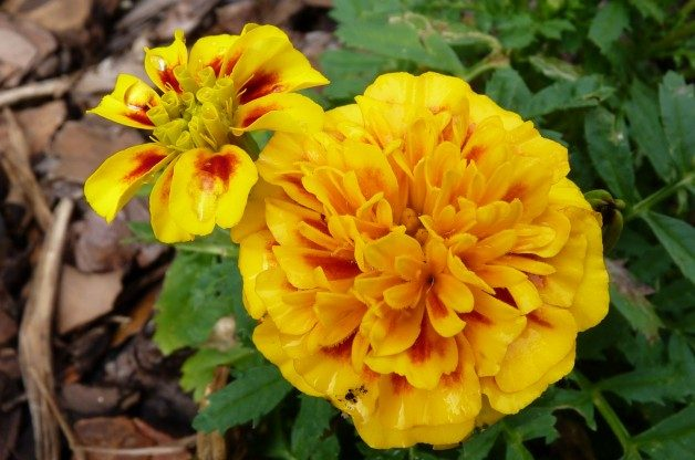 Marigolds by Jill Staake