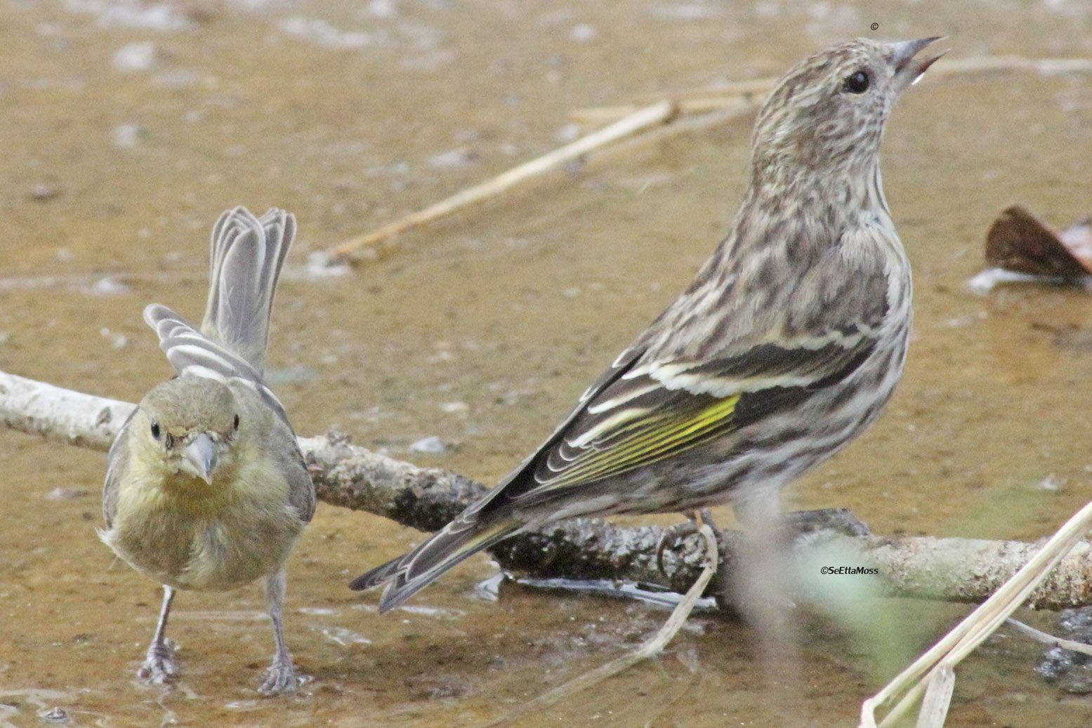 Pine Siskins Seen This Winter At Feeders Everywhere