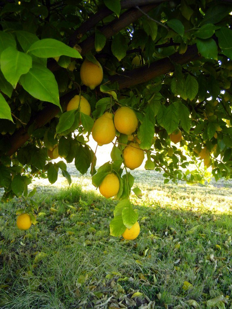 Got citrus learn how and when to fertilize birds and blooms for Lemon plant images