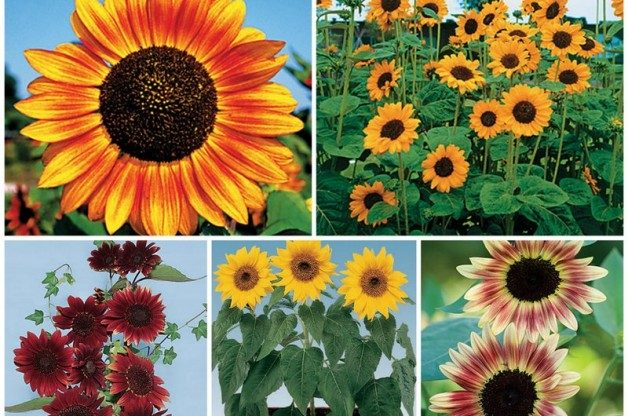 Sunflower Varieties from Park Seed and Burpee
