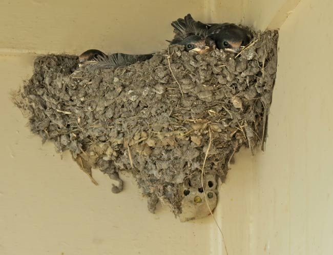 Barn Swallows on Wasp Nest