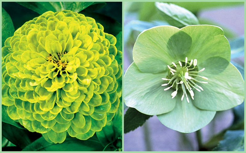 Envy Zinnia Park Seed And Green Ice Hellebore Bur