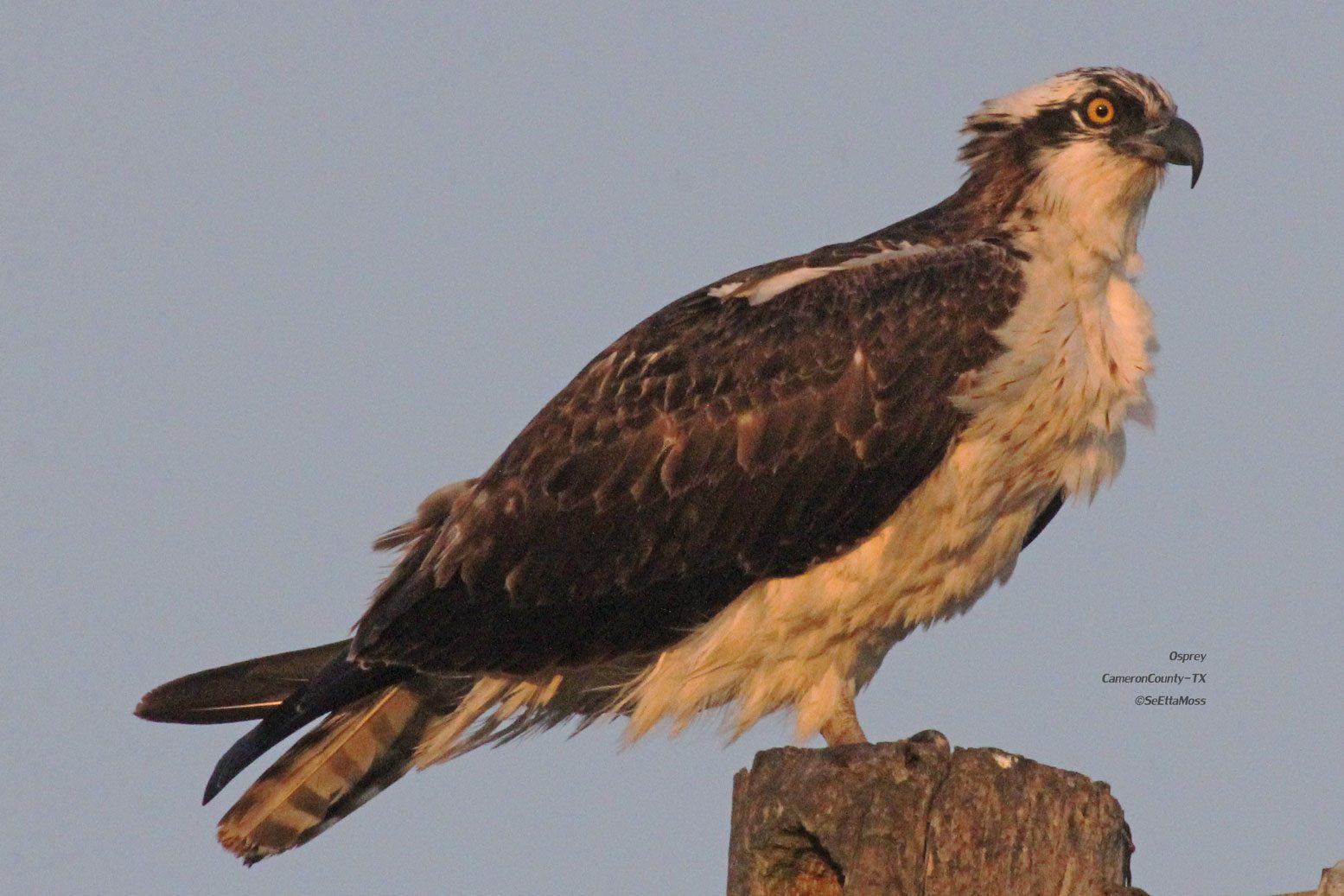 a report on ospreys or fish hawk