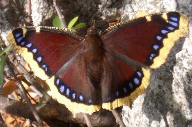 Mourning Cloak by Birds & Blooms Reader Thomas (Dewplop)