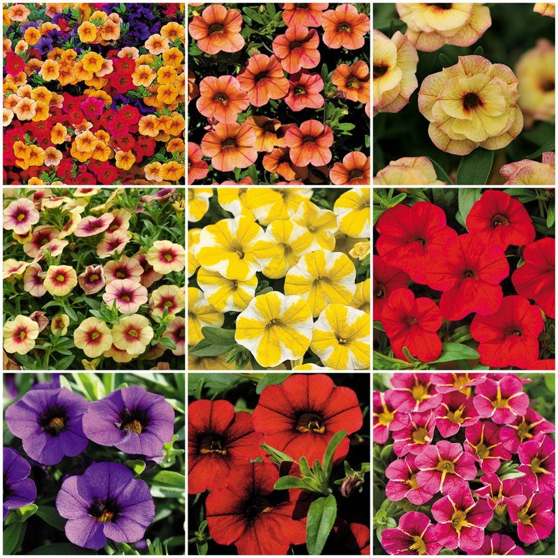 calibrachoa for baskets borders and butterflies birds and blooms. Black Bedroom Furniture Sets. Home Design Ideas