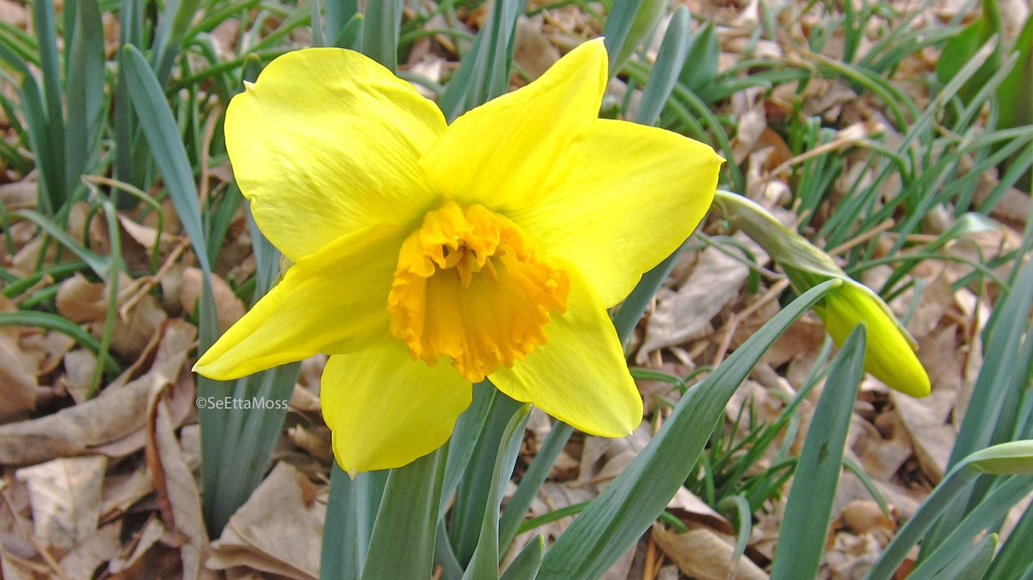 Daffodils narcissus or jonquils Birds and Blooms