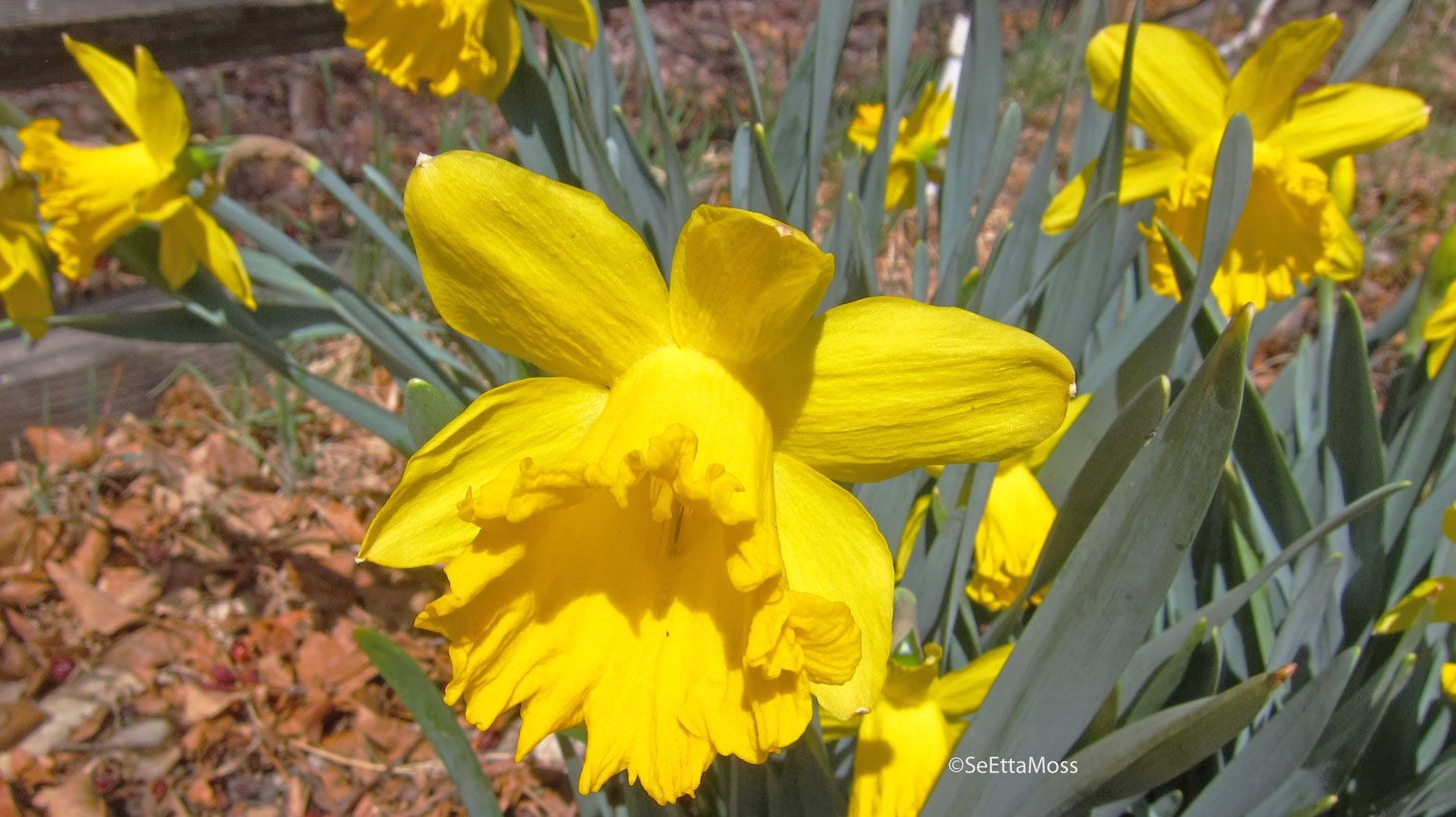 Daffodilsnarcissus or jonquils birds and blooms did you know that the original ancestors of our daffodils came from the iberian peninsula thats ok if you said to yourself wheres the iberian peninsula mightylinksfo