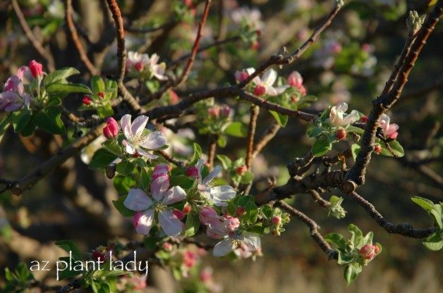 Signs Of Spring Fragrant Flowering Fruit Trees Birds And Blooms