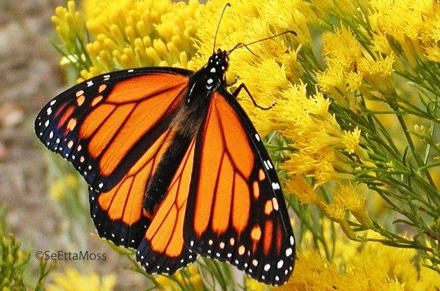 MonarchB-a1-CC,CO