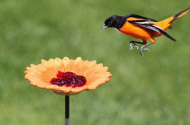 Baltimore Oriole by Birds & Blooms reader Ramona Doebler