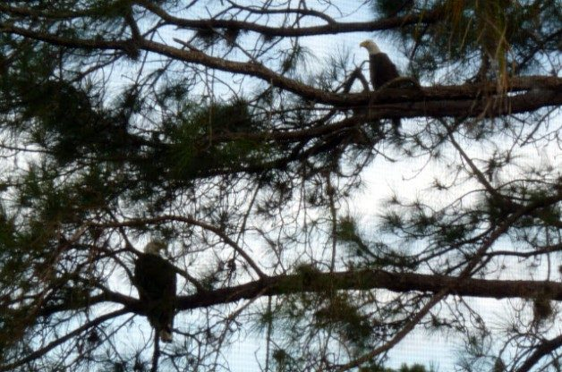 Bald Eagles, Tampa FL, Jill Staake