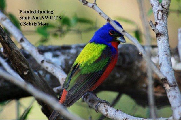 PBunting-a1-SantaAnaNWR