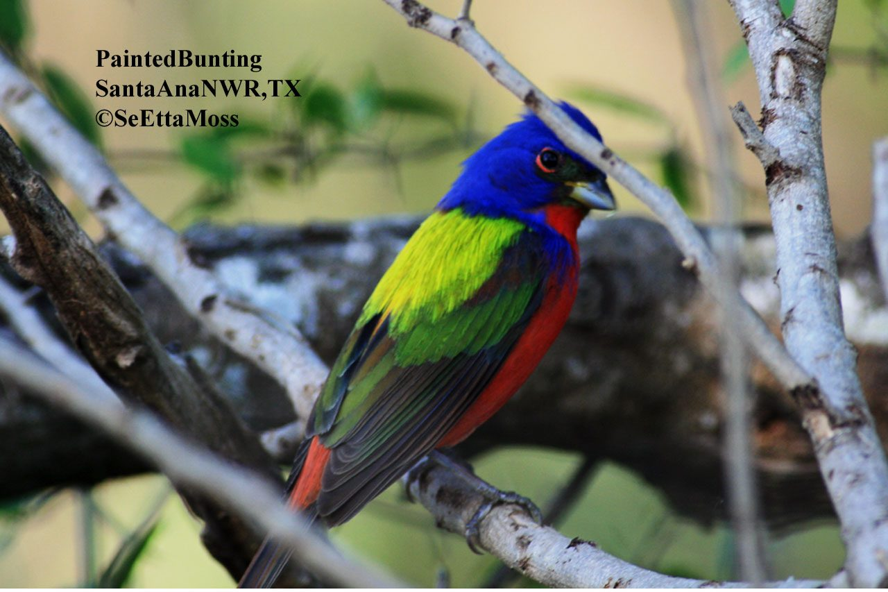 Rainbow bird-Painted Bunting - Birds and Blooms
