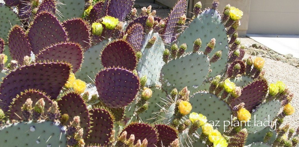 cactus flowers, fruit and shelter  birds and blooms, Natural flower