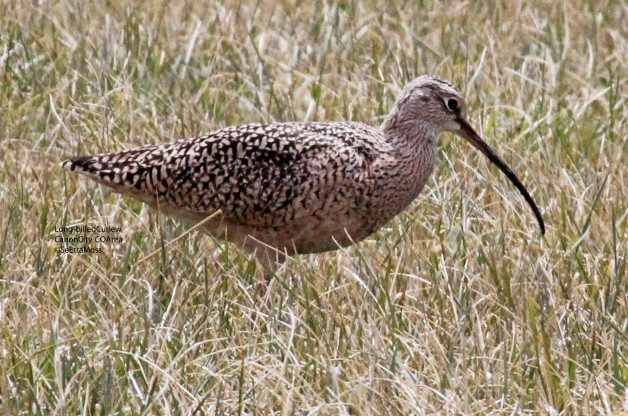 LBCurlew-a1-CC,CO