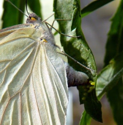 Great Southern White ovipositing on peppergrass, J Staake