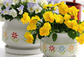 Instead of cut flowers, buy Mom flowers she can plant like these Cool Wave pansies from Ball Horticulture.