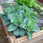 Got Holes in Your Leafy Greens? You Have Cabbage Worms