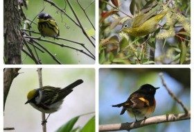 Clockwise from left: magnolia warbler, Nashville warbler, chestnut-sided warbler, American redstart. These birds were spotted at the Magee Marsh boardwalk and taken by Deb Neidert.