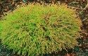 Top 10 Dwarf Conifers for Small Space Gardening: Arborvitae