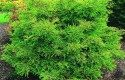 Top 10 Dwarf Conifers for Small Space Gardening: Bald cypress