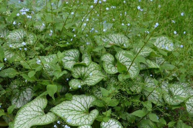 Great Shade Plant Brunnera Macrophylla Jack Frost Birds And Blooms