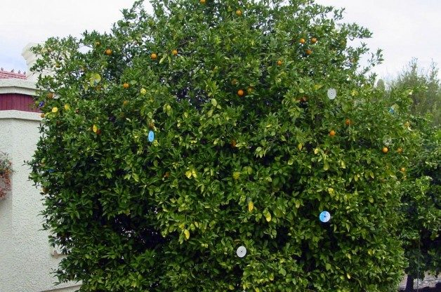 CD Citrus tree