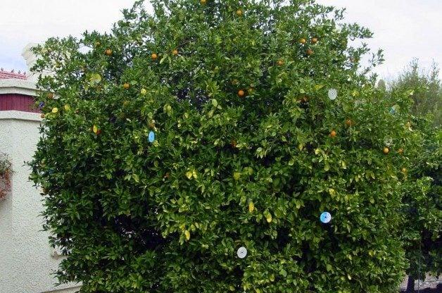 CD Citrus tree