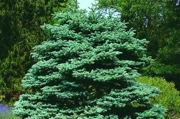 Top 10 Dwarf Conifers for Small Space Gardening: Colorado blue spruce