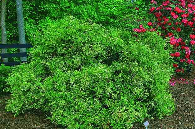 Top 10 Dwarf Conifers for Small Space Gardening: Hiba arborvitae