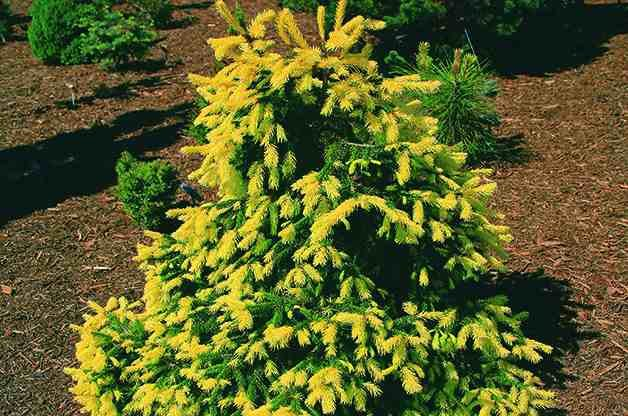 Top 10 Dwarf Conifers Small Space Gardening Birds And Blooms